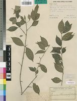 Isotype of Pauridiantha microphylla R.D.Good [family RUBIACEAE]