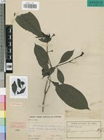 Isotype of Uragoga mayumbensis R.D.Good [family RUBIACEAE]