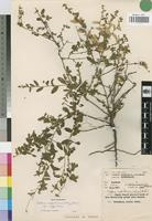 Isotype of Seddera suffruticosa (Schinz.) Hall. f. var. suffruticosa [family CONVOLVULACEAE]