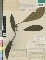 Isotype of Pavetta mayumbensis R.D.Good [family RUBIACEAE]