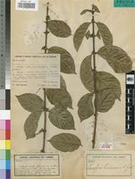 Isotype of Tricalysia landanensis R.D.Good [family RUBIACEAE]