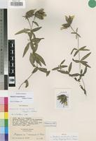 Isotype of Blepharis cuanzensis S.Moore subsp. tanganyikensis Napper [family ACANTHACEAE]