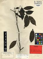 Type of Diospyros abyssinica (Hiern) F.White subsp. abyssinica [family EBENACEAE]