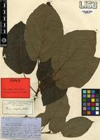 Type of Ficus sidifolia Welw. ex Hiern [family MORACEAE]