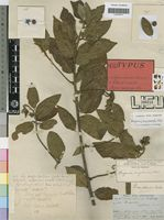 Holotype of Hugonia angolensis Welw. ex Oliv. [family LINACEAE]