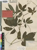 Isotype of Cissus aralioides (Welw. ex Bak.) Planch. [family VITACEAE]