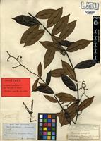 Isolectotype of Ancylobotrys scandens (Shumach. & Thonn.) Pichon [family APOCYNACEAE]