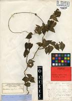 Type of Gongronema angolense (N.E.Br.) Bullock [family APOCYNACEAE]