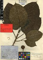 Type of Ficus tuberculosa Hiern [family MORACEAE]