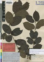 Type of Canthium medusula Welw. ex Hiern [family RUBIACEAE]