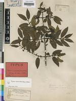 Type of Canthium kraussioides (Hiern) Bridson [family RUBIACEAE]