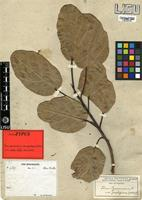 Isolectotype of Ficus sycomorus L. var. prodigiosa Hiern [family MORACEAE]