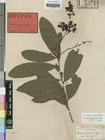 Isotype of Ouratea reticulata var. andongensis Hiern [family OCHNACEAE]