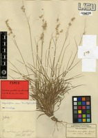 Type of Tricholaena grandiflora Hochst. ex A. Rich. var. collina Rendle [family POACEAE]