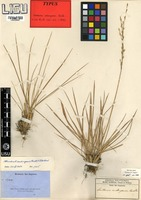 Type of Danthonia andongensis Rendle [family POACEAE]