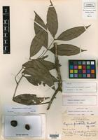 Holotype of Eugenia peroblata Lundell [family MYRTACEAE]