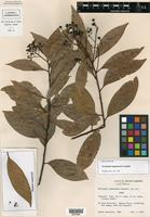 Holotype of Nectandra mopanensis Lundell [family LAURACEAE]