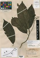 Isotype of Phoebe platyphylla Lundell [family LAURACEAE]