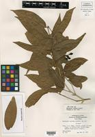 Isotype of Bunchosia ocellata Lundell [family MALPIGHIACEAE]