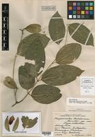 Isotype of Hippocratea tabascensis Lundell [family HIPPOCRATEACEAE]
