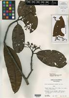 Holotype of Ocotea guatemalensis Lundell [family LAURACEAE]