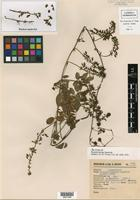 Isotype of Nissolia hintonii Sandwith [family FABACEAE]