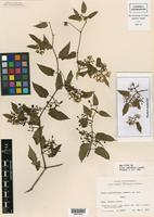 Holotype of Cissus pallidiflora Lundell [family VITACEAE]