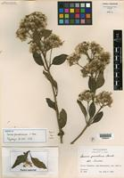 Isotype of Senecio phorodendroides L. O. Williams [family ASTERACEAE]