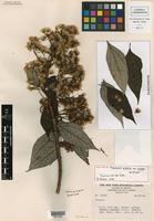Holotype of Sinclairia glabra Rydb. var. minor B. L. Turner [family ASTERACEAE]