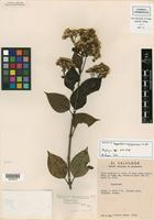 Isotype of Ageratina salvadorensis R. M. King & H. Rob. [family ASTERACEAE]