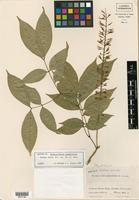 Isotype of Pithecellobium racemiflorum Donn. Sm. [family FABACEAE]