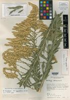 Holotype of Solidago gypsophila G. L. Nesom [family ASTERACEAE]