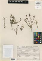 Holotype of Portulaca johnstonii Henrickson [family PORTULACACEAE]