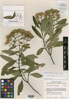 Isotype of Stevia myricoides McVaugh [family ASTERACEAE]