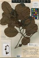 Holotype of Doliocarpus belizensis Lundell [family DILLENIACEAE]