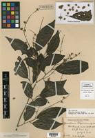 Isotype of Homalium riparium Standl. [family FLACOURTIACEAE]