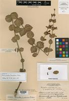 Isotype of Russelia sarmentosa Jacq. forma pubescens Carlson [family SCROPHULARIACEAE]