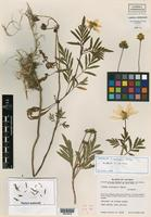 Isotype of Cosmos mcvaughii Sherff [family ASTERACEAE]