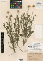Isotype of Erigeron lobatus A. Nelson var. warnockii Shinners [family ASTERACEAE]