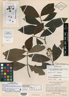 Holotype of Ardisia salvadorensis Lundell [family MYRSINACEAE]