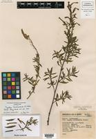 Isotype of Cuphea trichochila R. C. Foster [family LYTHRACEAE]