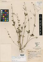 Isotype of Bidens gracillima Sherff [family ASTERACEAE]