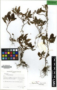 Holotype of Plectranthus guruensis A.S. Paton [family LAMIACEAE]