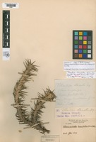 Holotype of Tillandsia chlorantha Speg. [family BROMELIACEAE]