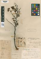 Lectotype of Pithecodendron argentinensis Spegazzini, 1923 [family FABACEAE]