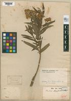 Syntype of Baccharis longifolia Candolle, 1969 [family ASTERACEAE]