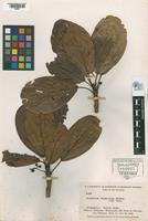 Isotype of Coussapoa rhamnoides Standley, 1937 [family MORACEAE]