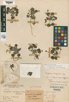 Syntype of Eriogonum ameghinoi Spegazzini, 1902 [family POLYGONACEAE]