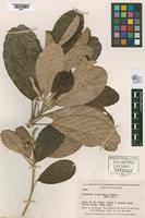 Isotype of Pourouma isophlebia Standley, 1937 [family MORACEAE]