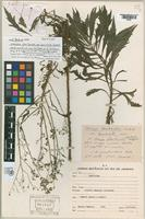 Holotype of Conyza floribunda Kunth [family ASTERACEAE]